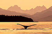 Humpback whale fluke silhouetted at sunset in the waters of the Inside Passage, Southeast Alaska, USA