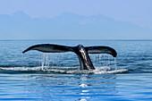 'Ein Buckelwal (Megaptera novaeangliae) hebt es an, wie es in die Tiefe zurückkehrt, um das ruhige Wasser der Inside Passage in der Nähe von Juneau zu füttern; Alaska, Vereinigte Staaten von Amerika'
