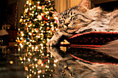 'Maine Coon cat sleeps in basket, reflecting with Christmas tree lights on granite kitchen counter; Anchorage, Alaska, United States of America'