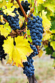 'Clusters of purple grapes hanging on the vine with yellowing leaves; Penticton, British Columbia, Canada'