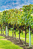 'A row of grape vines with bunches of dark purple grapes; Penticton, British Columbia, Canada'