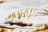 'Close up of oats hanging down with crusted snow on the ground; Alberta, Canada'