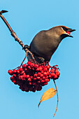 'Bohemian Waxing (Bombycilla garrulus) perched on a Mountain Ash tree eating red berries against a blue sky; Anchorage, Alaska, United States of America'