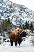 'American Bison (bison bison) with snow covered muzzle, Shoshone National Forest; Wyoming, United States of America'