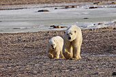 'Polar bear (ursus maritimus) and cub walking side by side on the shore; Churchill, Manitoba, Canada'