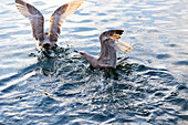 'A pair of western seagulls (Larus occidentalis) aggressively fight over food in the water, splashing and squawking at each other until one flees; Vancouver, British Columbia, Canada'