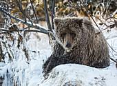 Grizzly bear in Ni'iinlii Njik (Fishing Branch) Territorial Park, Yukon Territory, Canada