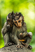 'Two monkeys sits closely together on a rock, Monkey Forest; Ubud, Bali Island, Indonesia'