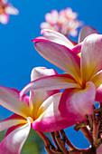 'Close-up von rosa plumeria Blumen und blauer Himmel; Lanai, Hawaii, Vereinigte Staaten von Amerika'