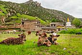 'Ein paar Kälber mit einer Pause auf einer Wiese, ein kleines tibetisches Dorf hinter ihnen; Daocheng, Provinz Sichuan, China'