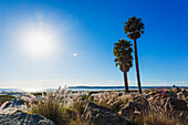 'Palm trees on the shore along the coast with a view of the coastline under a blue sky; California, United States of America'