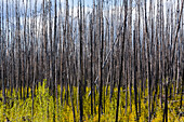'Dead trees standing tall against a cloudy sky with new growth on the forest floor; Alberta, Canada'