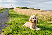 'A blond cockapoo sits on the grass beside a path leading to Souter Lighthouse; South Shields, Tyne and Wear, England'