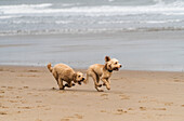 'Two blond cockapoos running on a beach at the water's edge; South Shields, Tyne and Wear, England'