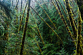 'Red Alder trees grow with conifers; Cannon Beach, Oregon, United States of America'
