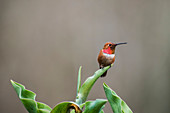 'A Rufous Hummingbird (Selasphorus rufus), common in the Pacific Northwest, displaying some of it's beautiful red feathers while perched on a tulip leaf resting between meals; Alaska, United States of America'