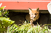'A Juvenile Red Fox (Vulpes Vulpes) Peaking Out From Beneath An Outbuilding At A Fishcamp; False Pass, Southwest Alaska, United States Of America'