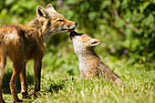 'A Red Fox (Vulpes Vulpes) With One Of Her Pups Near A Fishcamp On The Alaska Peninsula; False Pass, Southwest Alaska, United States Of America'