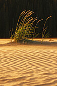 'Grasses On Windblown Sand Dunes With Shadows Under The Midnight Arctic Sun, Great Kobuk Sand Dunes, Kobuk Valley National Park; Northwest Alaska, United States Of America'