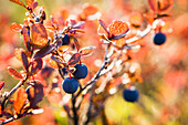 'Lowbush Blueberry In Autumn Colors Near The Noatak River, Brooks Range; Alaska, United States Of America'