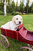 'A young Labrador puppy sits in a vintage red wagon on grass; Anchorage, Alaska, United States of America'