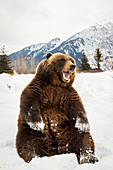 'Grizzly bear (ursus arctos horribilis) sitting in the snow at the Alaska Wildlife Conservation Center, South-central Alaska; Portage, Alaska, United States of America'