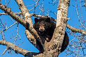 Black bear cub (ursus americanus) climbing a tree, captive at Alaska Wildlife Conservation Center, South-central Alaska, United States of America