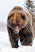 'Brown bear (ursus arctos) walking in the snow towards the camera at the Alaska Wildlife Conservation Center, South-central Alaska; Portage, Alaska, United States of America'