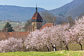 Almond blossom in the Palatinate Forest, Frankweiler, Palatinate, Rhineland-Palatinate, Germany, Europe