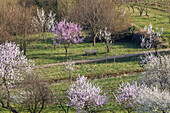 Almond blossom in the Palatinate Forest, Gimmeldingen, Neustadt by the Wine Route, Palatinate, Rhineland-Palatinate, Germany, Europe