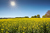 Blooming rape field in May, Icking, Bavaria, Germany