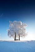 Wintermorgen mit schneebedeckten Bäume, Münsing, Oberbayern, Bayern, Deutschland