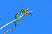 Bee-eater during courtship giving gift to partner, Merops apiaster, lake Neusiedl, National Park lake Neusiedl, UNESCO World Heritage Site Fertö / Neusiedlersee Cultural Landscape, Burgenland, Austria