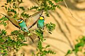 Bee-eater landing near partner at branch, Merops apiaster, lake Neusiedl, National Park lake Neusiedl, UNESCO World Heritage Site Fertö / Neusiedlersee Cultural Landscape, Burgenland, Austria