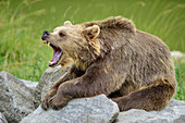 Brown bear yawning and showing his teeth, Upper Bavaria, Bavaria, Germany