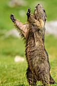 Marmot standing upright, Dachstein range, Styria, Austria