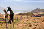 Icelandic horses play in field, Foraging, hvalfjördur, Iceland, Europe