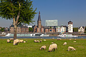 Sheep along the Rhine meadows, view over the Rhine river to the Old town with St Lambertus church, Duesseldorf, North Rhine-Westphalia, Germany