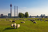 Sheep grazing on the Rhine meadows, view over the Rhine river to Stadttor, television tower and Rheinknie bridge, Duesseldorf, North Rhine-Westphalia, Germany