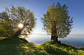Willow trees at lake Mueritz, Mueritz-Elde-Wasserstrasse, Mecklenburgische Seenplatte, Mecklenburg-West Pomerania, Germany