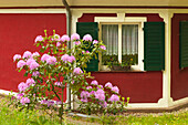 Rhododendron in front of a house at Waldpark Semper, Ruegen,  Baltic Sea, Mecklenburg-West Pomerania, Germany