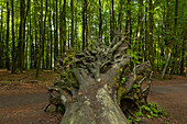 Roots of a fallen tree, Jasmund National Park, Ruegen,  Baltic Sea, Mecklenburg-West Pomerania, Germany