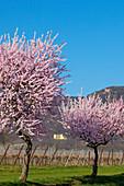 Almond blossom at Villa Ludwigshoehe and Rietburg castle, Mandelbluetenweg, Deutsche Weinstrasse (German Wine Road), Pfalz, Rhineland-Palatinate, Germany