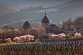 Almond blossom at Geilweilerhof, near Siebeldingen, Mandelbluetenweg, Deutsche Weinstrasse (German Wine Road), Pfalz, Rhineland-Palatinate, Germany