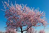 Almond blossom, Mandelbluetenweg, Deutsche Weinstrasse (German Wine Road), Pfalz, Rhineland-Palatinate, Germany
