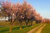 Almond blossom near Siebeldingen, Mandelbluetenweg, Deutsche Weinstrasse (German Wine Road), Pfalz, Rhineland-Palatinate, Germany