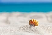 'Eine seltene Regenbogenfarbe Hawaiianischer Sonnenaufgang Jakobsmuschel Seashell, auch bekannt als Pecten Langfordi, im Sand am Strand bei Sonnenaufgang; Honolulu, Oahu Hawaii, Vereinigte Staaten von Amerika'