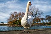 A swan (Cygnus) walks towards the camera, South Shields, Tyne and Wear, England