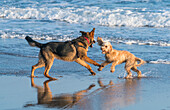 Two dogs playing on the wet sand at the water's edge on a beach, South Shields, Tyne and Wear, England