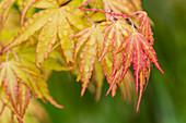 Rain falls on Japanese Maple (Acer palmatum) leaves in autumn colours, Astoria, Oregon, United States of America